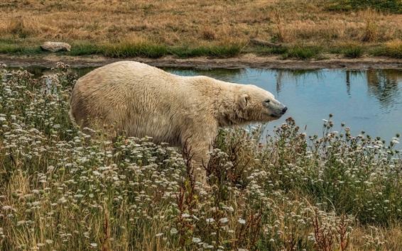 Обои Белый медведь, полевые цветы, пруд