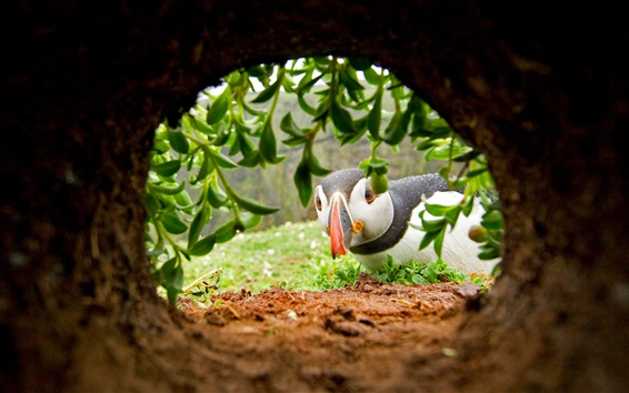Wallpaper Puffin look at hole, plants
