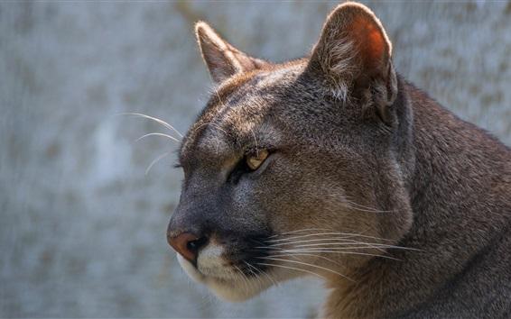 Обои Вид сбоку Puma, голова, глаз