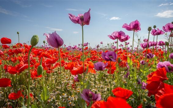Papéis de Parede Papoilas roxas e vermelhas, flores