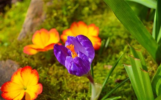 Fond d'écran Crocus Pourpre, Fleurs De Printemps