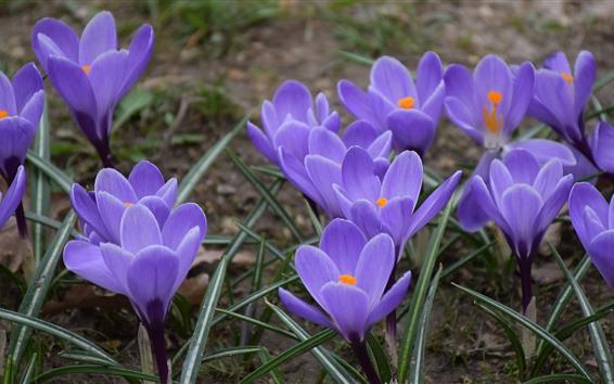 壁紙 紫クロッカス、花、春
