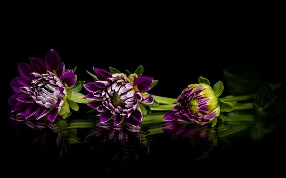 Обои Фиолетовый георгин, цветы, черный фон