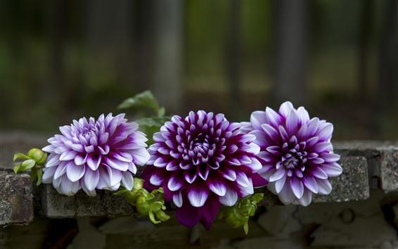 Обои Фиолетовые георгины, скамейка