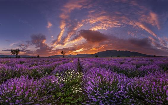 배경 화면 자주색 라벤더 꽃, 산, 구름, 일몰
