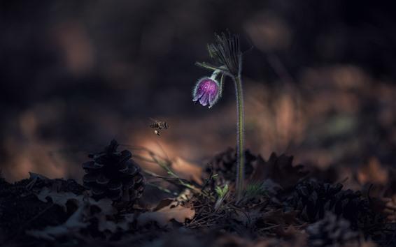 Обои Фиолетовый цветок сонной травы, пчела