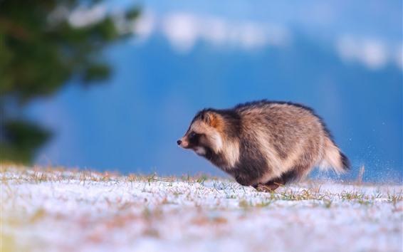 Papéis de Parede Cão de guaxinim correndo, neve, inverno