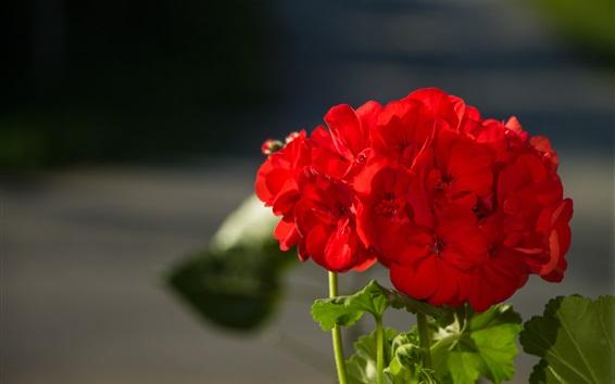 배경 화면 붉은 꽃, 제라늄, 녹색 잎