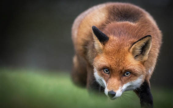 Wallpaper Red fox, look, blurry background