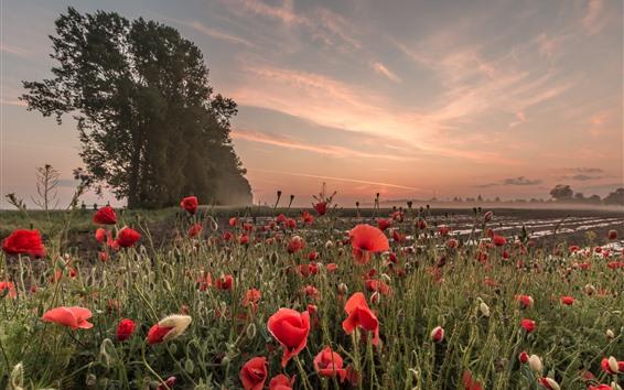 Papéis de Parede Papoilas vermelhas, flores, árvores, pôr do sol