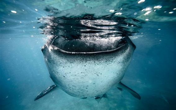 Papéis de Parede Tubarão vista frontal, mar, debaixo d'água