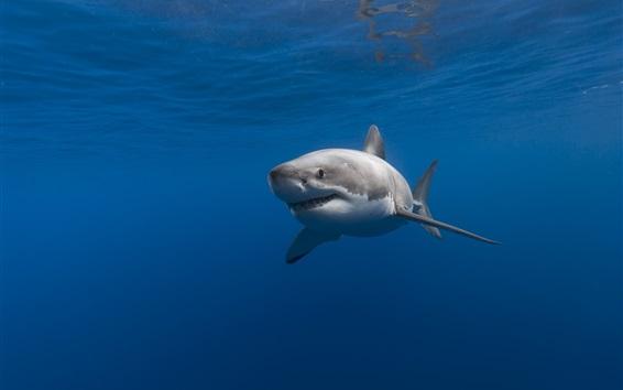 Fond d'écran Requin, sous l'eau, mer bleue