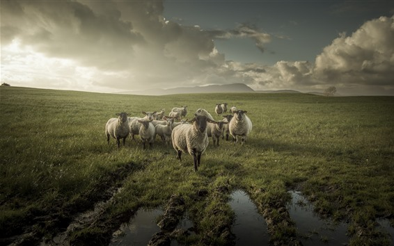 Wallpaper Sheep, grassland, clouds