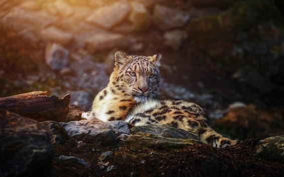 Papéis de Parede Descanso de leopardo de neve, predador