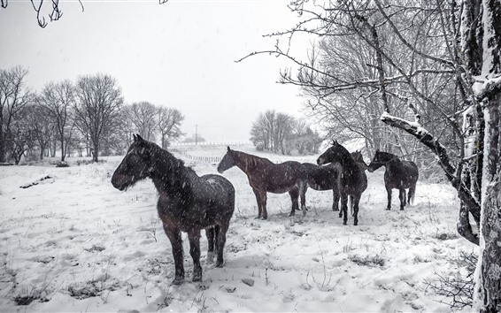 Papéis de Parede Alguns cavalos no inverno, nevado, árvores