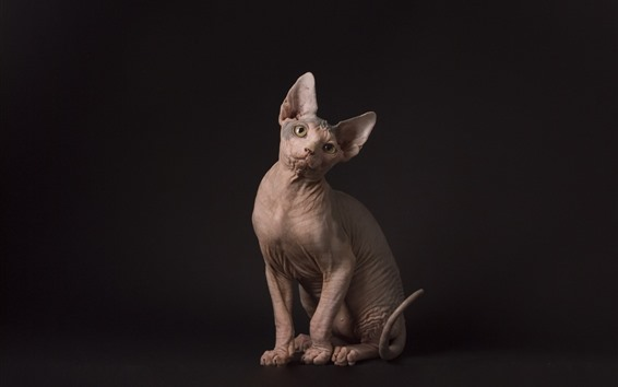 Wallpaper Sphynx cat, sit, black background