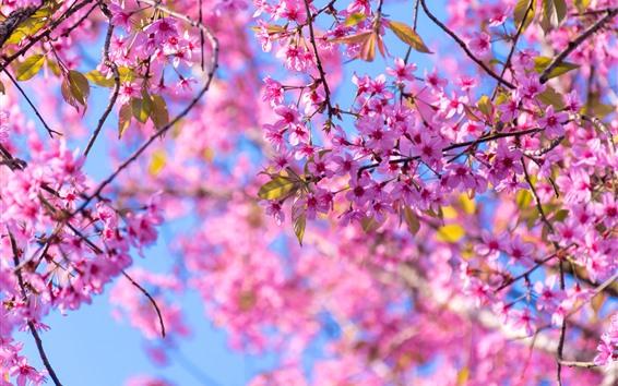 Papéis de Parede Primavera, floração de sakura, flores de árvore-de-rosa