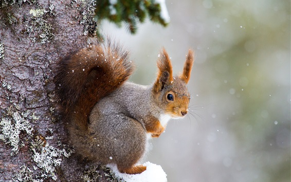 Wallpaper Squirrel, snowy, tree, winter