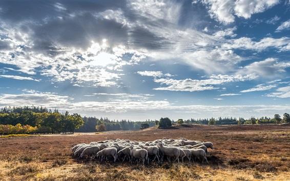 Wallpaper Summer, sheep, clouds, sunshine