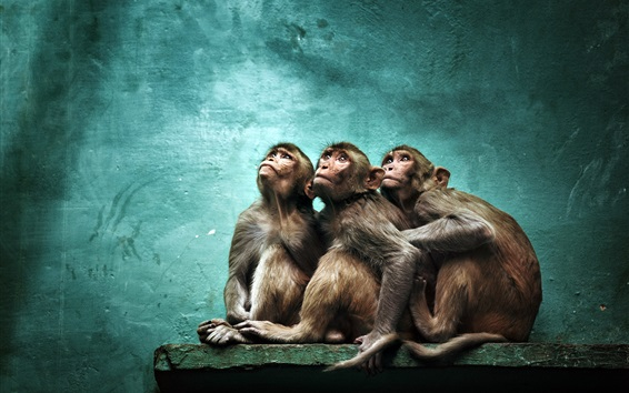 Fond d'écran Trois singes se lèvent