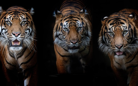 Обои Три тигра, черный фон