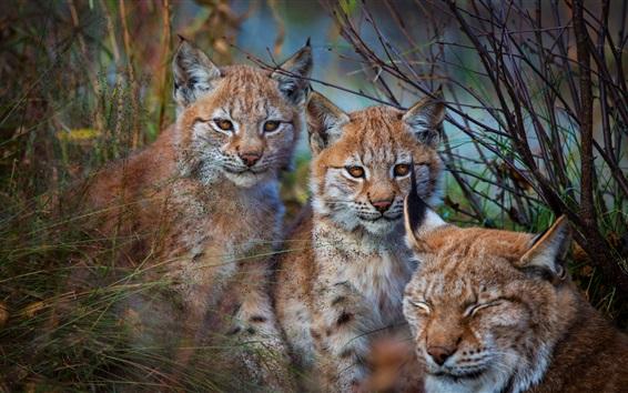 Wallpaper Three wild cats