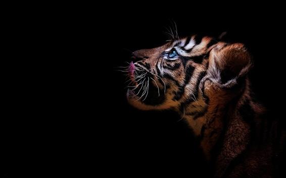 壁紙 虎の子、青い目、黒の背景