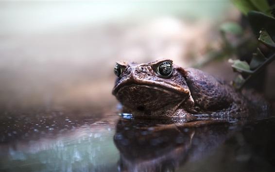 배경 화면 두꺼비, 연못, 물