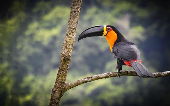 Papéis de Parede Tucano, pássaro, árvore