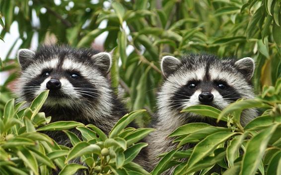 Wallpaper Two raccoons, tree