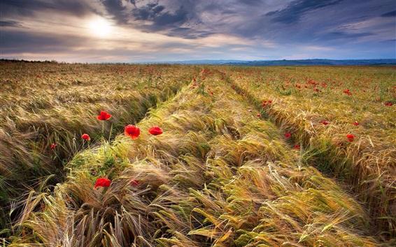 Fondos de pantalla Campo de trigo, espiguillas, amapolas rojas
