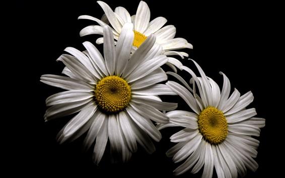 Wallpaper White chamomile flowers, petals, black background
