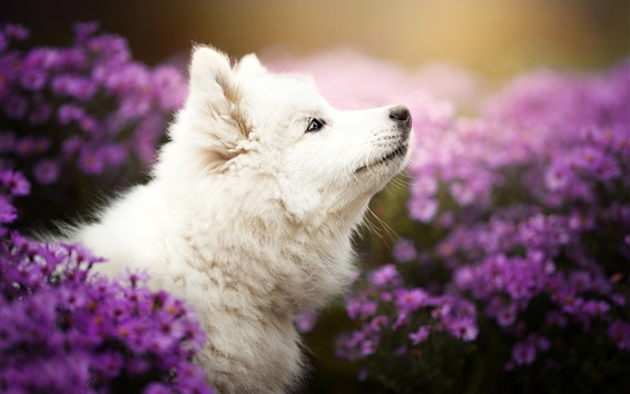 Обои Белая собака поднимается, фиолетовая хризантема