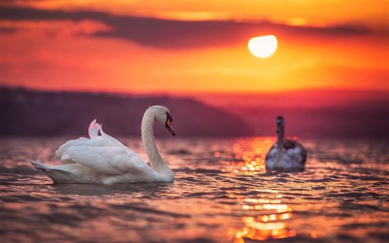 Papéis de Parede Cisnes brancos, lago, pôr do sol