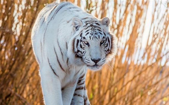 배경 화면 흰 호랑이가 너에게 걸어 간다.