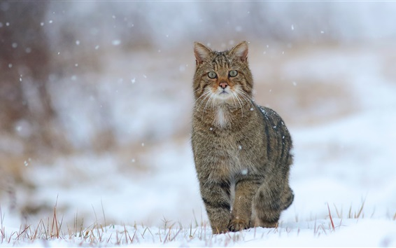 Wallpaper Wild cat, snow, winter, grass