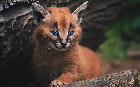Papéis de Parede Gato selvagem, gatinho, olhos azuis