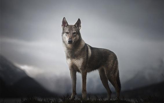 Обои Волк, гора, сумерки