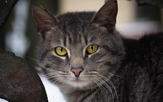 Обои Желтые глаза серый кот смотрят на тебя