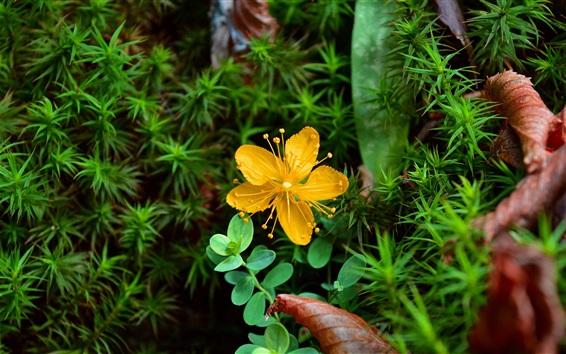 Обои Желтый цветок, зеленые листья, растение