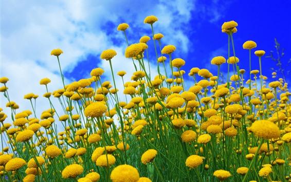 壁纸 黄色花,蓝天