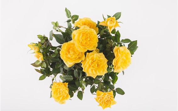 Wallpaper Yellow roses, bouquet, white background