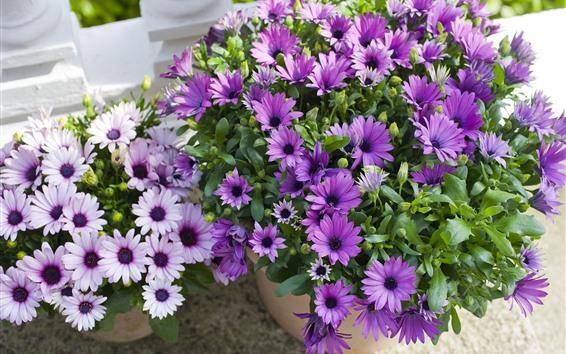 Wallpaper Beautiful purple flowers, osteospermum