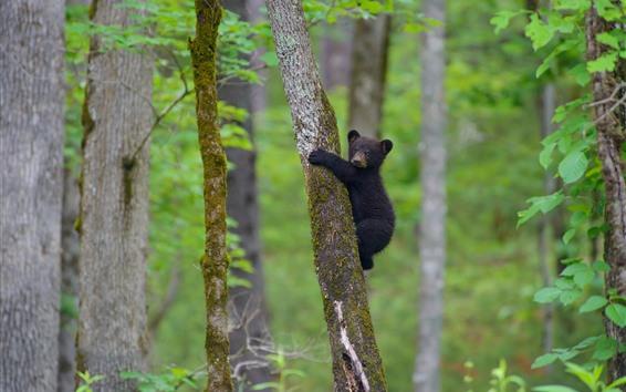 Wallpaper Black bear cub climbing the tree