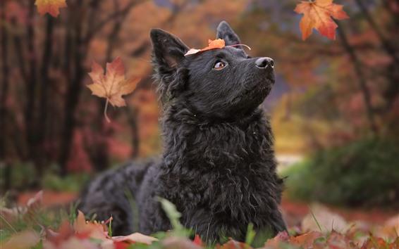 Papéis de Parede Cão preto olhar para cima, folhas vermelhas, outono