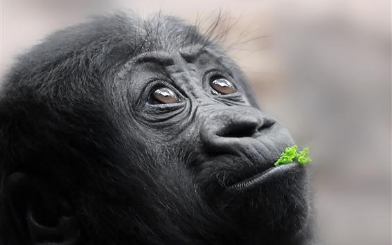 Papéis de Parede Macaco preto olhar para cima