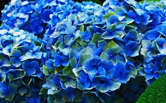 Papéis de Parede Hortênsia azul, flores, floração