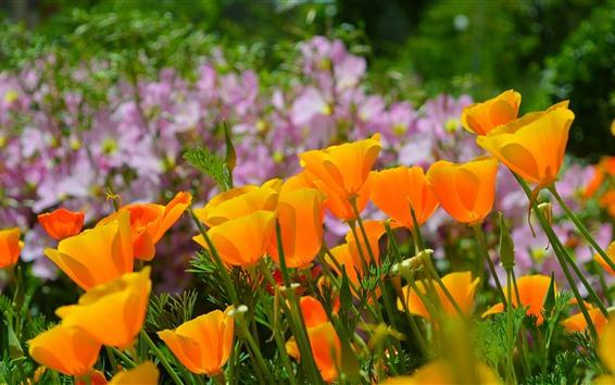 Papéis de Parede Califórnia papoula, laranja flores