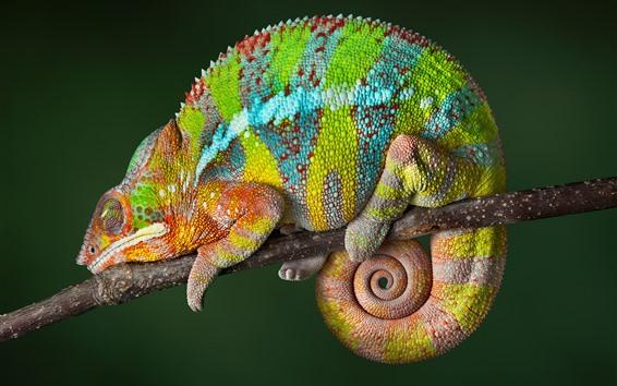 Papéis de Parede Camaleão, cores do arco-íris, réptil