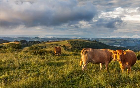 Papéis de Parede Vacas, grama, montanhas, nuvens, céu